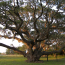 Help us find the oldest tree in Leslieville,Riverside, and Riverdale!